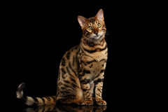 Bengal Cat Sitting on Black Isolated Background, Looking in Camera Stock Images