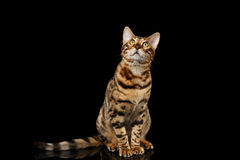 Bengal Cat Sitting on Black Isolated Background, Looking up Royalty Free Stock Photos