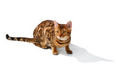 Bengal cat sitting and looking at right on white Royalty Free Stock Photo