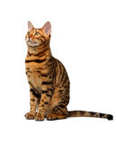 Bengal cat sitting and looking up on white Stock Photography