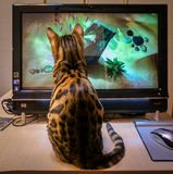 Bengal cat sitting near monoblock and hunting royalty free stock image