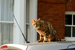 Bengal cat sitting on my car. Bengal cat with stunning green eyes sitting on owners car in the warm sunshine Stock Photos