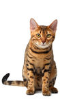 Bengal cat sitting on white Stock Photography