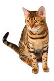 Bengal cat sitting on white Stock Photos