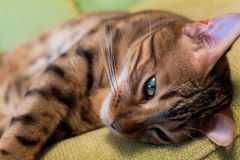 Bengal Cat Sleeping Royalty Free Stock Images