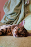 Bengal Cat Sleeping Royalty Free Stock Photography