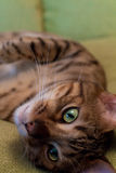 Bengal Cat Sleeping Stock Photography