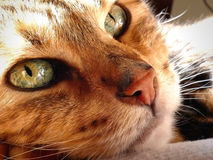 Bengal cat: Snoozing bengal cat head closeup Stock Image