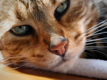 Bengal cat: Snoozing bengal cat stone red nose Stock Photography
