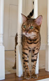 Bengal Cat on stairs. Young Bengal cat looking between white stair rails stock image