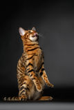 Bengal cat stand and licking Stock Images