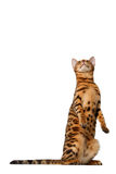 Bengal cat stand and looking up Royalty Free Stock Image