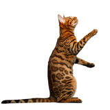 Bengal cat stand and looking up Royalty Free Stock Photo