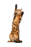 Bengal cat stand and raising up paw Royalty Free Stock Photo