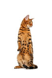 Bengal cat stand and raising up paw. On white background stock photo