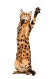 Bengal cat stand and raising up paw Stock Photo