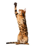 Bengal cat stand and raising up paw Stock Images