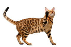 Bengal cat stand and raising up paw Royalty Free Stock Images