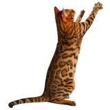 Bengal cat stand and raising up paw Royalty Free Stock Photos