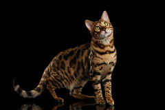 Bengal Cat Standing on Black Isolated Background, Looking up Stock Photography