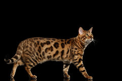 Bengal Cat Standing on Black Isolated Background, Looking up Royalty Free Stock Images