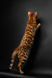 Bengal cat standing on hind legs and catching Stock Image