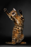 Bengal cat standing on hind legs and catching Stock Photos