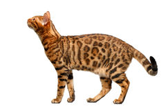 Bengal cat standing and sniffing on white Stock Photo
