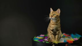 Bengal cat in the studio stock video
