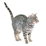 Bengal cat in studio Stock Images