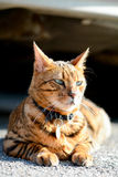 Bengal cat portrait Stock Image