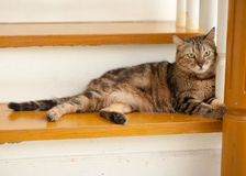 Bengal CAT. A tiger (tabby) cat relaxing on stairway stock image