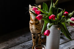 Bengal cat with tulips Royalty Free Stock Photography