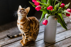 Bengal cat with tulips Royalty Free Stock Photos