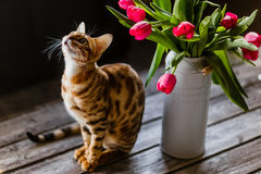 Bengal cat with tulips Royalty Free Stock Images
