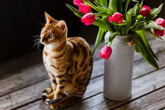 Bengal cat with tulips Stock Photo