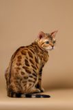 Bengal Cat Turned Back on Brown Background Stock Images