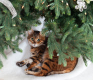 Bengal cat under Christmas tree Royalty Free Stock Image