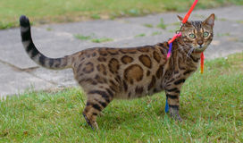 Bengal cat on a walk Royalty Free Stock Image