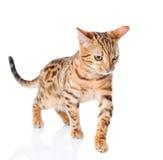 Bengal  cat walking. Stock Image