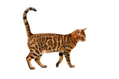 Bengal cat walking on white Stock Photography