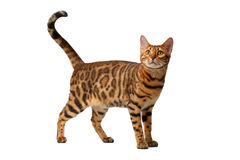 Bengal cat walking on white Stock Images