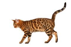 Bengal cat walking on white Royalty Free Stock Photography