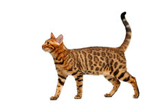 Bengal cat walking on white Royalty Free Stock Images