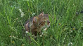 Bengal cat walks in the grass. He shows different emotions. This cat eats weed Royalty Free Stock Photo