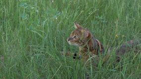 Bengal cat walks in the grass. He shows different emotions. The cat looks away. Ears on the vertex, pointing forward: the cat is in a good mood, ready for the Stock Images