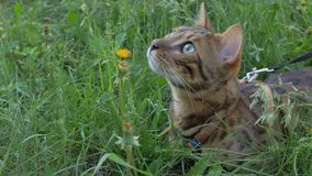 Bengal cat walks in the grass. He shows different emotions. The cat looks up with interest Royalty Free Stock Images
