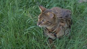 Bengal cat walks in the grass. He shows different emotions. The cat looks away. Ears on the vertex, pointing forward: the cat is in a good mood, ready for the Royalty Free Stock Images