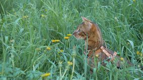 Bengal cat walks in the grass. He shows different emotions. The cat looks away. Ears on the vertex, pointing forward: the cat is in a good mood, ready for the Royalty Free Stock Image