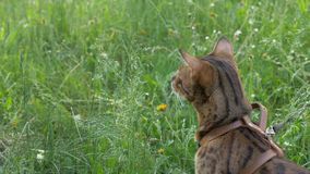 Bengal cat walks in the grass. He shows different emotions. The cat turned away from us, the back view Stock Photos